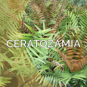 Ceratozamia