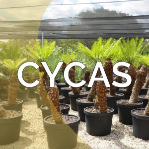 Cycas