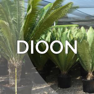 Dioon
