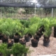 Zamia integrifolia 'Palatka Giant'