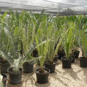 Encephalartos septentrionalis