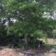Adansonia digitata / kilima